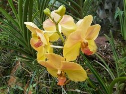 yellow orchids in nature