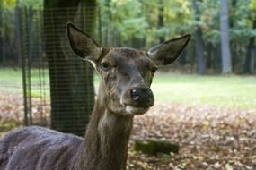 hornless deer in the autumn forest