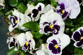 White purple pansy flowers nature