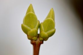 Two green buds of plant