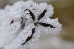 hoarfrost on a tree branch