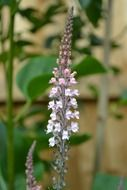 pale-pink loosestrife