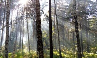 morning sun rays through the trees in the forest