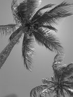 black and white picture of coconut trees