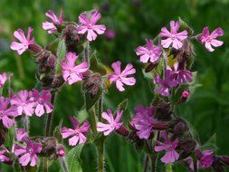 red campion on nature background