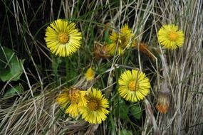 tussilago farfara in dry grass