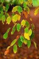 autumn beech foliage