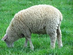 sheep is eating green grass