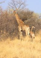 giraffes in a natural environment in south africa