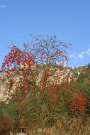 rowanberry tree with ripe fruits in autumn landscape, germany, altmühltal nature park