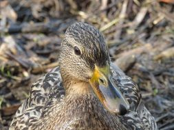 brown spotted duck in the wild close-up