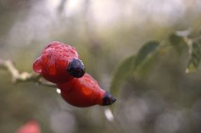 Raindrops on the rosehips in autumn