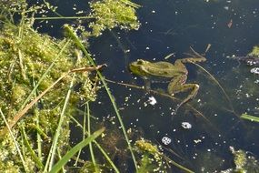green frog animal in pond