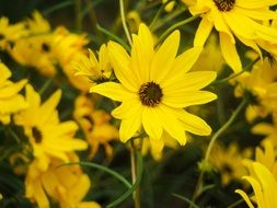 yellow flowers sunflower maximilian