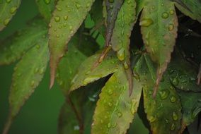 green leaves in drops close-up