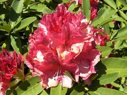 blooming bush rhododendron