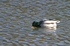 Picture of swimming wild duck
