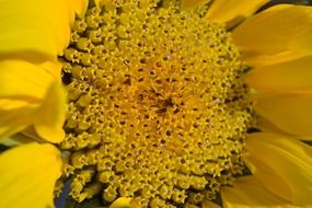 yellow center of a sunflower close up