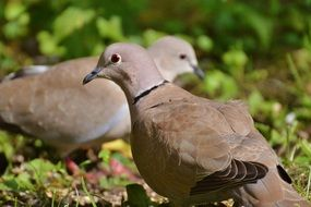 collared pigeons couple