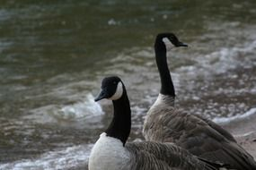 Canada Goose near water