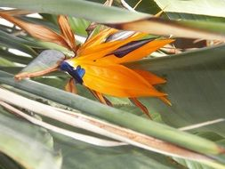 tropical bird of paradise flower