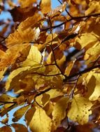 Golden beech leaves on a sunny day