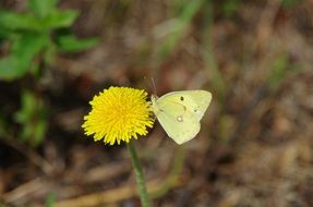 white butterfly on a yellow dandelion