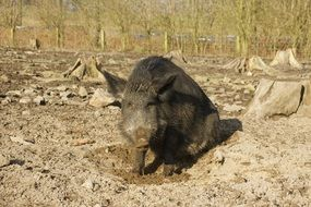 boar in the mud park