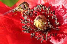 bee pollinating the red poppy