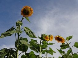 tall sunflower flowers against a blue sky