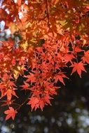 plant autumnal leaves light red