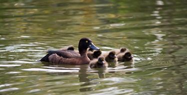 duck with fluffy ducklings on the water