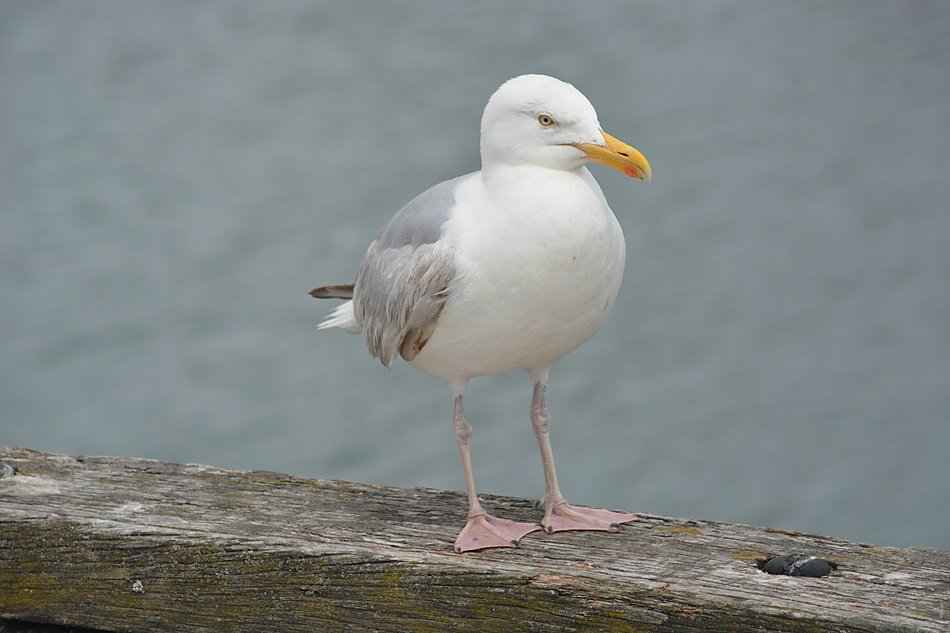 Seagull on wooden board seashore view