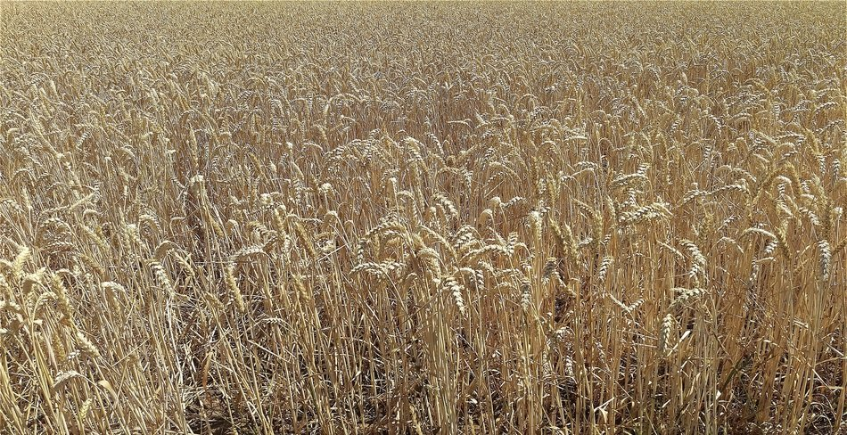 grain field in autumn
