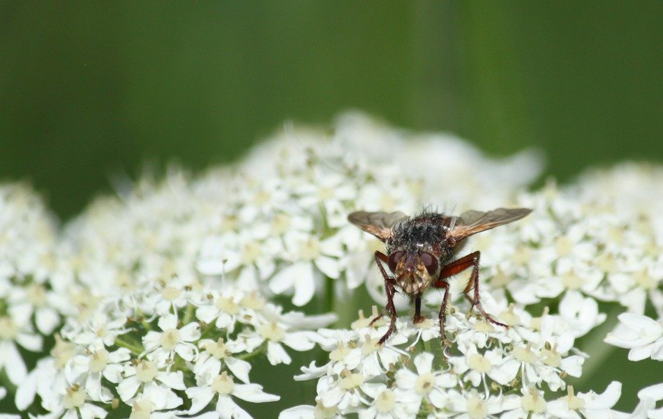 a fly sits on a white flower close up
