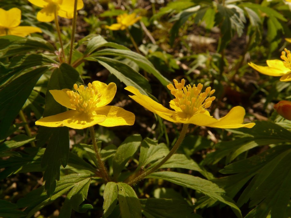 Natural Yellow wood anemone
