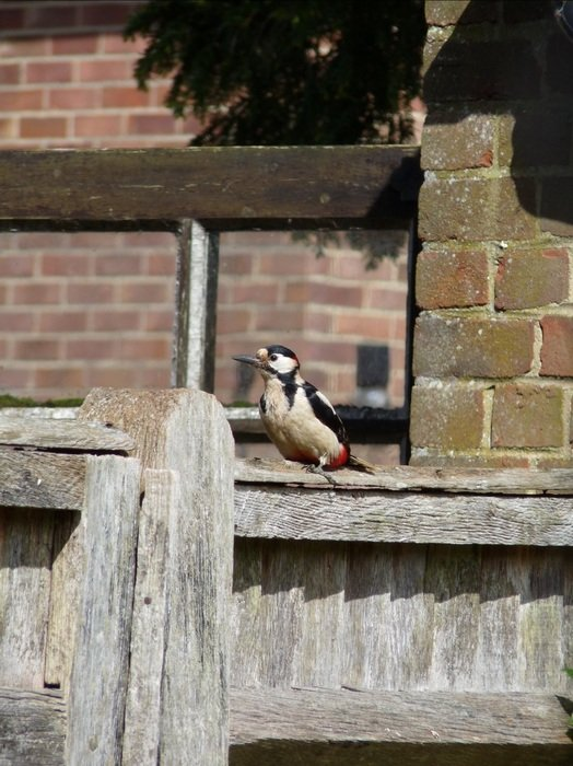 woodpecker on a wooden fence on a sunny day