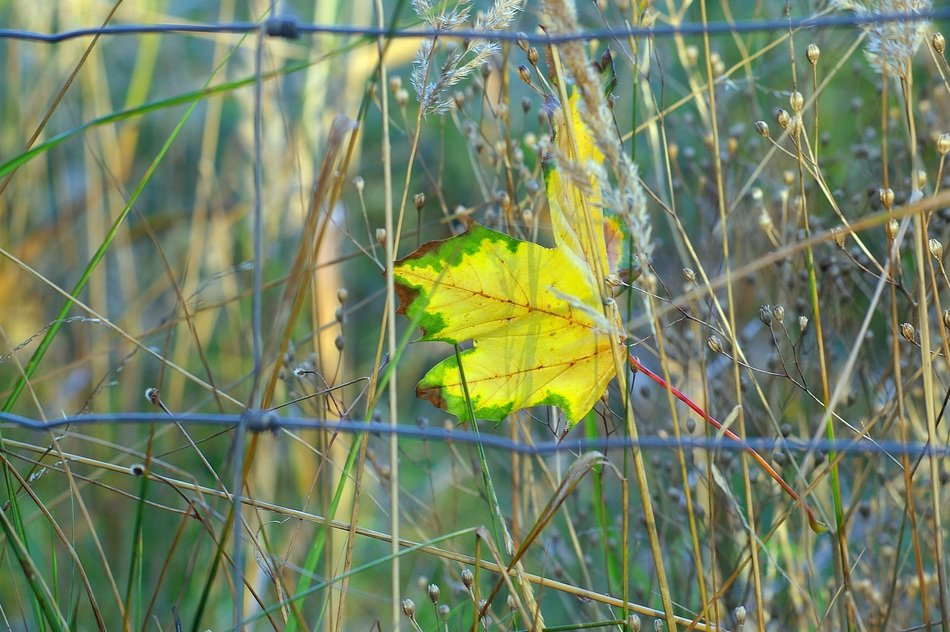 bright yellow-green maple leaf in autumn