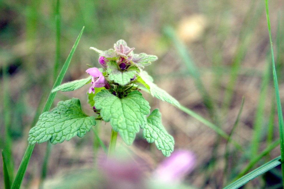 dead nettle meadow