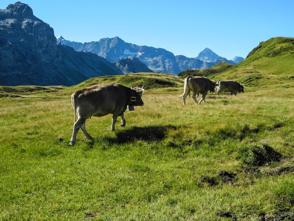 cows in the mountains of Switzerland, melchseefrutt