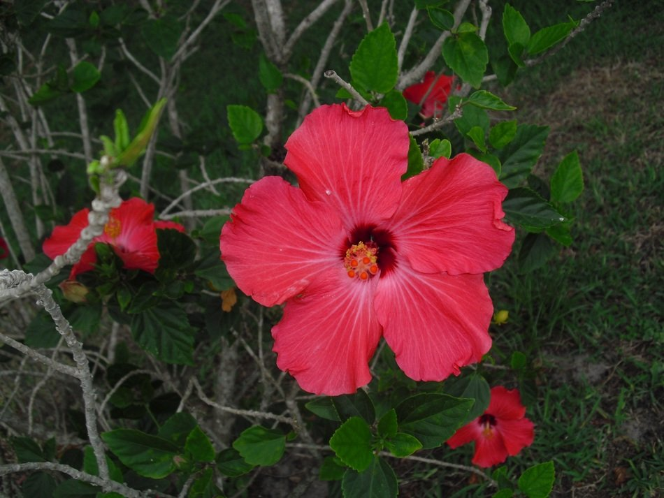red hibiscus on a bush