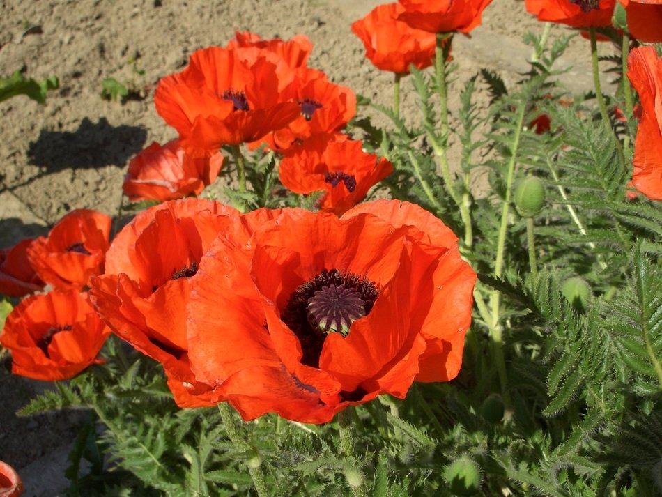 Beautiful red poppy flowers with green leaves