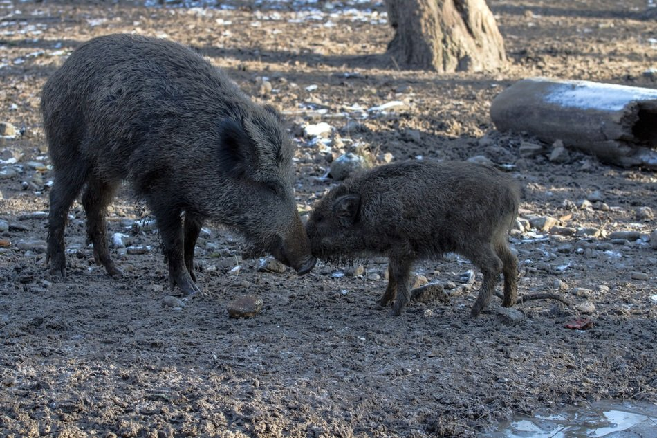 wild boars eating