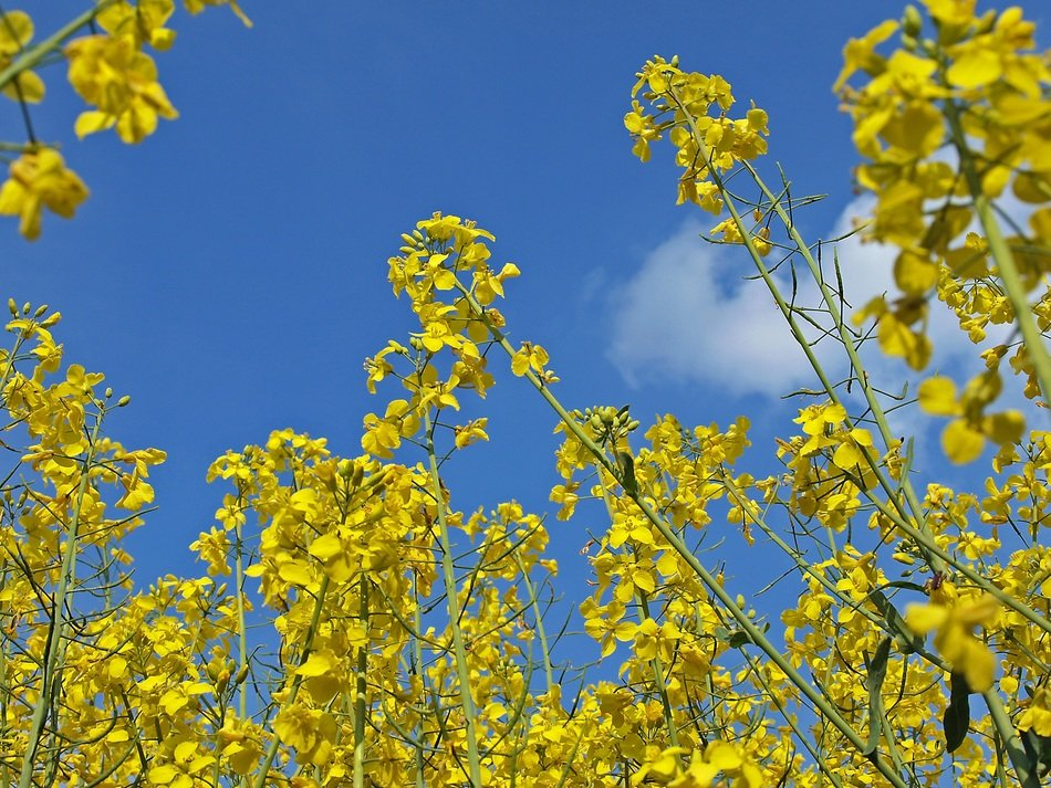 yellow rape flowers against a clear sky