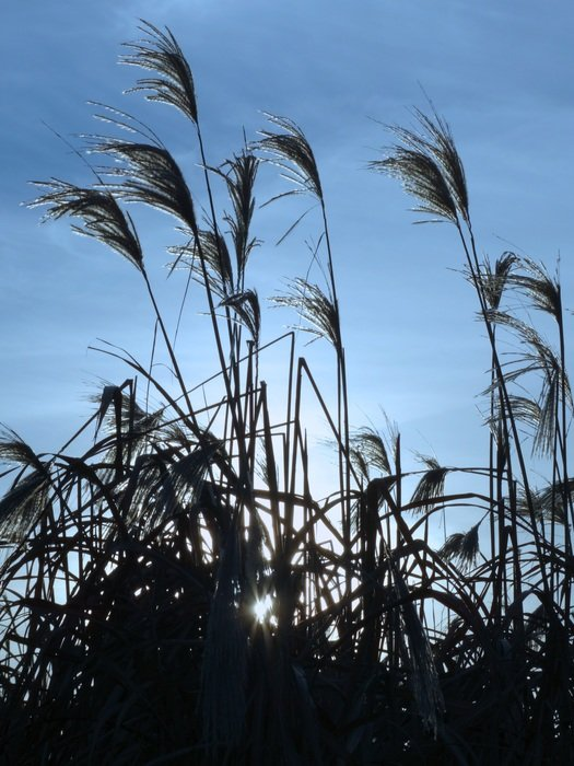 silhouettes of reed grass on the blue sky