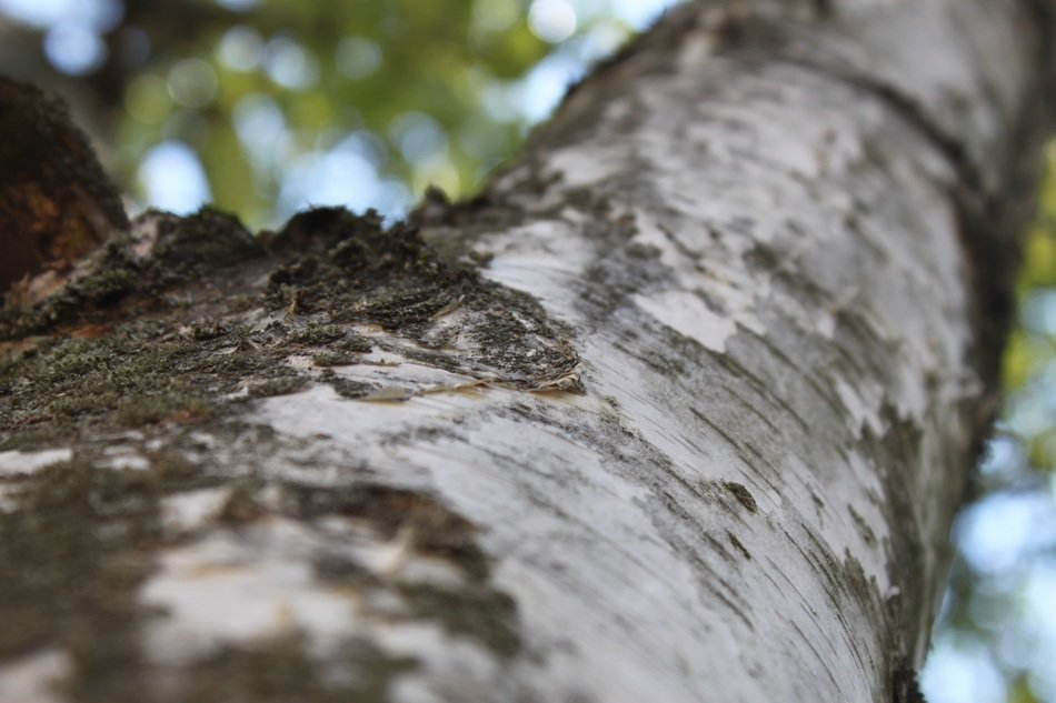 birch trunk close up