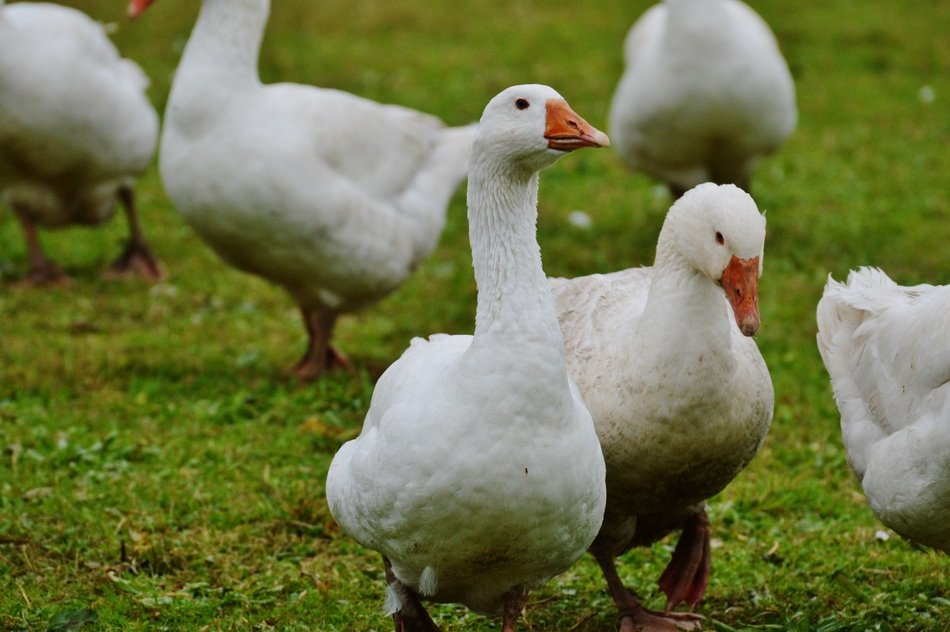 domestic goose group