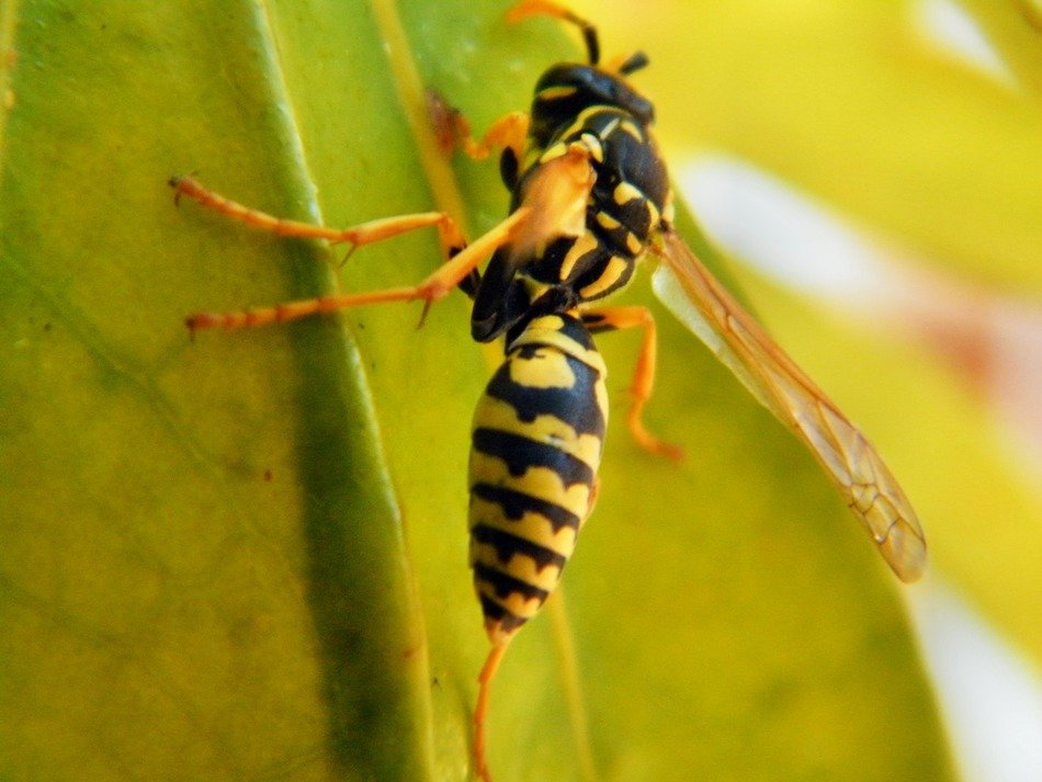 wasp insect on the leaf macro