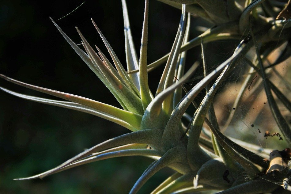 epiphyte plant spiky roots