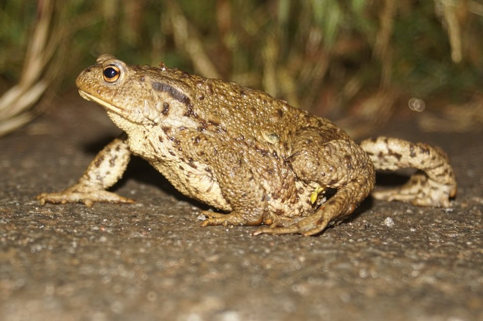 common fat frog